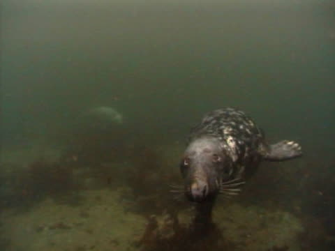 grey seal, one in distance, the other mcu swims to camera and out of frame l, very cloudy water - gråsäl bildbanksvideor och videomaterial från bakom kulisserna