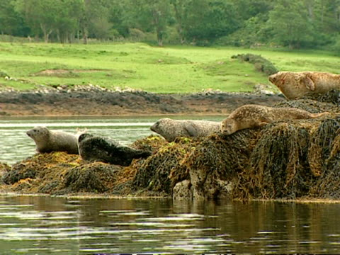 ms wa grey seal (halichoerus grypus), pan right from group of seals on rocky outcrop to ls of castle in background, norfolk, uk - tame stock videos & royalty-free footage