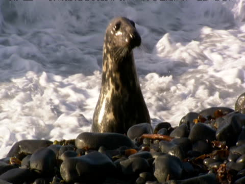grey seal peers from surf - kegelrobbe stock-videos und b-roll-filmmaterial
