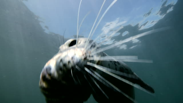 Grey seal playing front of camera