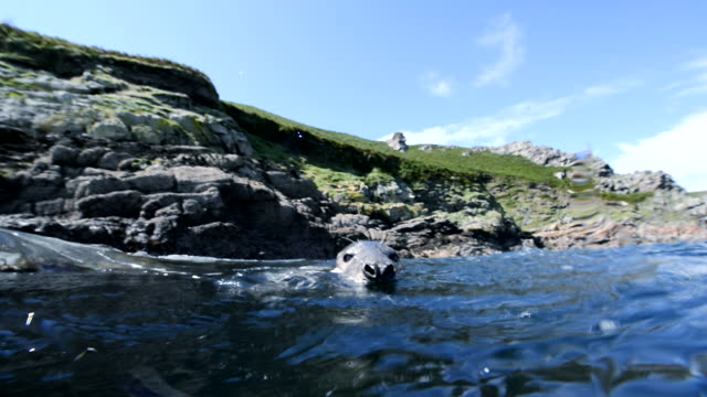 grey seal playing in front of skomer cliffs - kegelrobbe stock-videos und b-roll-filmmaterial