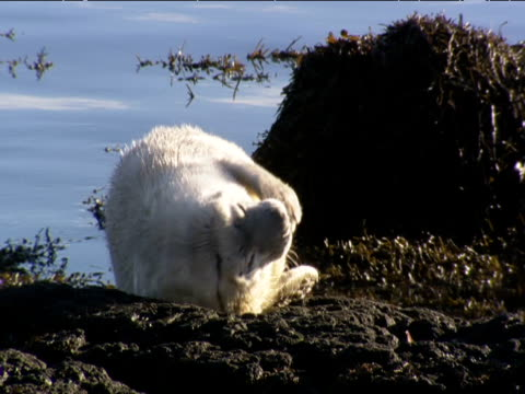 grey seal pup lies and wriggles on rocks - seal pup stock videos and b-roll footage