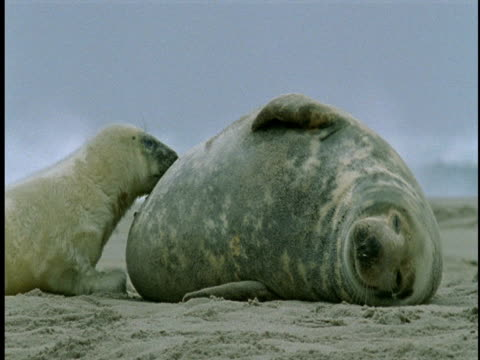A grey seal pup nurses as its mother lies in the sand.