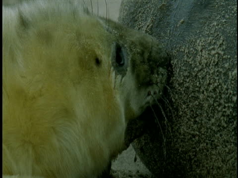a grey seal pup nurses. - seal pup stock videos & royalty-free footage