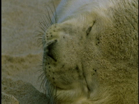 a grey seal pup rests on the sandy beach of sable island, canada. - seal pup stock videos & royalty-free footage