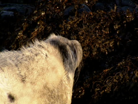 grey seal pup rests on weedy rock - grey seal stock videos & royalty-free footage
