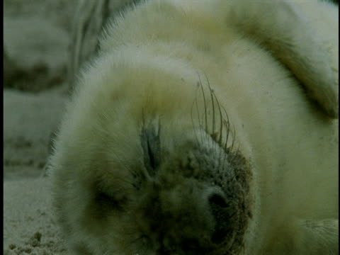 a grey seal pup scratches itself and turns over as it falls asleep on a beach. - seal pup stock videos and b-roll footage