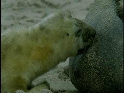 a grey seal pup suckles on its mother. - seal pup stock videos & royalty-free footage