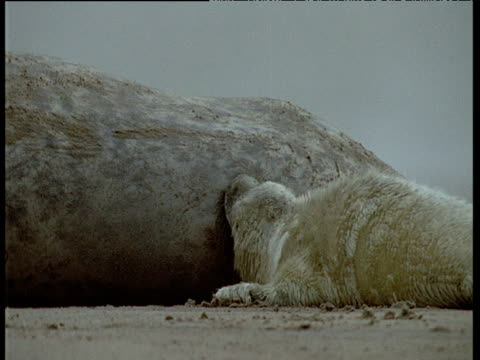 grey seal pup suckling from mother on sandy beach, uk - kegelrobbe stock-videos und b-roll-filmmaterial