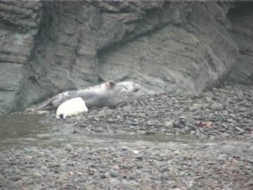 grey seal pup suckling off mother, mws - grey seal stock videos & royalty-free footage
