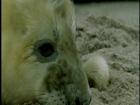 a grey seal pup with sand on its face blinks its eyes as it begins to doze on a beach. - seal pup stock videos and b-roll footage