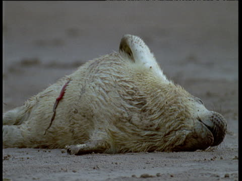 Grey seal pup with umbilical cord still attached, on sandy beach, UK