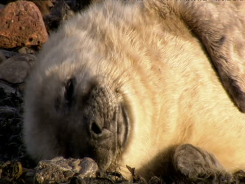grey seal pup wriggles and yawns on beach - kegelrobbe stock-videos und b-roll-filmmaterial