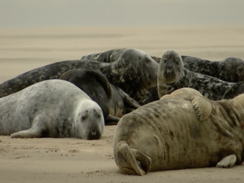 grey seal relaxation, escapism, comfort - kegelrobbe stock-videos und b-roll-filmmaterial