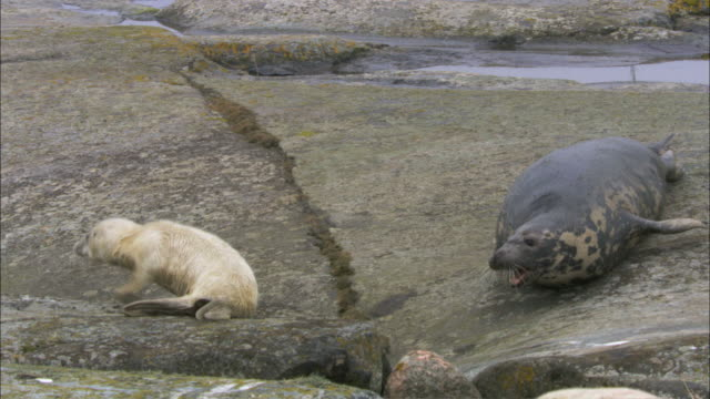 ws pan grey seal roaring to grey seal cub / sweden   - kegelrobbe stock-videos und b-roll-filmmaterial