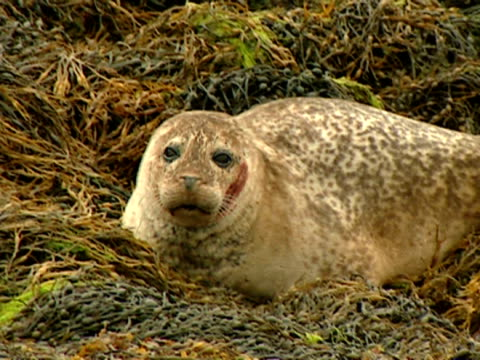 cu grey seal (halichoerus grypus), sitting on seaweed, looks up, alert norfolk, uk - grey seal stock videos & royalty-free footage
