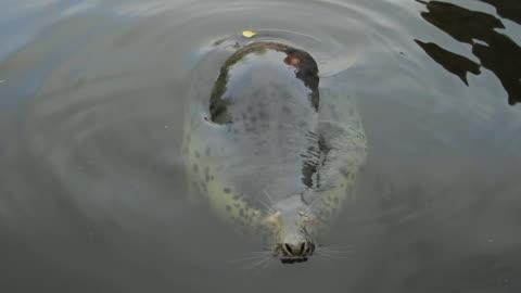 grey seal sleeping in water - grey seal stock videos & royalty-free footage