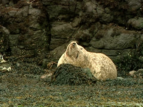 ms grey seal (halichoerus grypus), sleeping, using rock as pillow, norfolk, uk - grey seal stock videos & royalty-free footage
