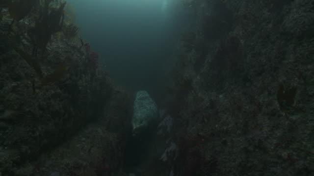 vídeos de stock e filmes b-roll de grey seal spins and looks at camera - acidificação dos oceanos