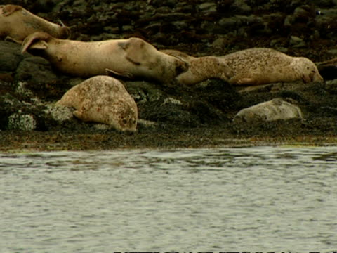 ms grey seal (halichoerus grypus) surfaces by resting seal group, norfolk, uk - tame stock videos & royalty-free footage