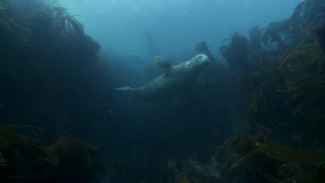 grey seal swimming among kelp - kegelrobbe stock-videos und b-roll-filmmaterial