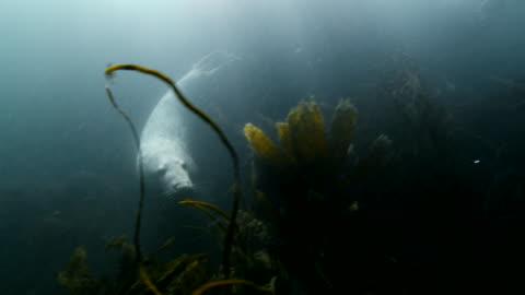 grey seal swimming around diver - grey seal stock videos & royalty-free footage