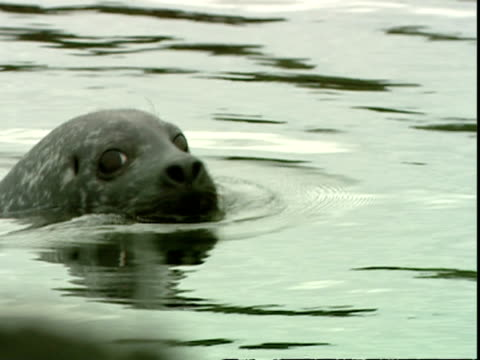 ms grey seal (halichoerus grypus) swimming behind rocks, stretching head up to look at camera, norfolk, uk - grey seal stock videos & royalty-free footage
