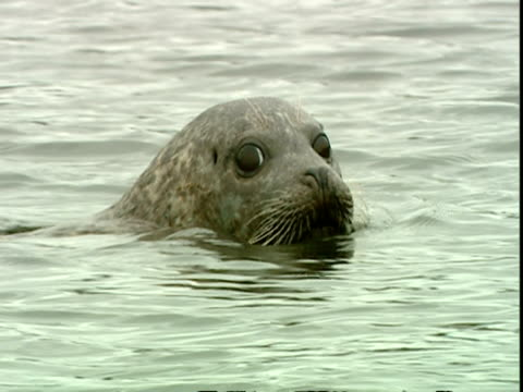 vídeos de stock, filmes e b-roll de cu grey seal (halichoerus grypus) swimming in water, looking furtively at camera, norfolk, uk - vadear