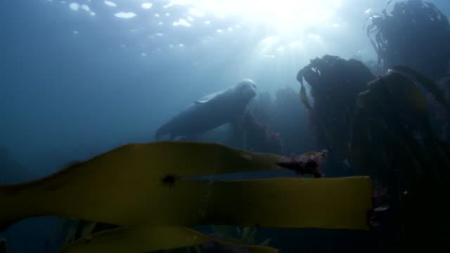 vídeos de stock e filmes b-roll de grey seal swimming over kelp forest - acidificação dos oceanos