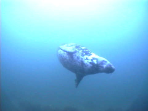 grey seal swimming slowly, left to right turns to look at camera then swims away out of view, good visibility - aquatic organism stock videos & royalty-free footage