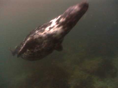 grey seal, swims from ms to cu as swims up to camera then twists back again, see underbelly and tail flippers clearly, dark, peaty water - grey seal stock videos & royalty-free footage