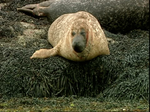 ms grey seal (halichoerus grypus) takes head out of water and gets comfy on rocks, norfolk, uk - イーストアングリア点の映像素材/bロール