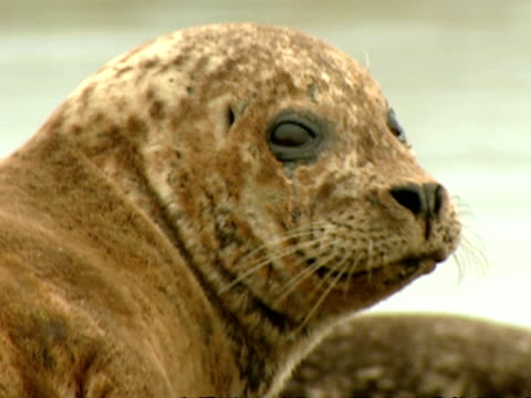 CU Grey seal (Halichoerus grypus), turning head to camera, Norfolk, UK