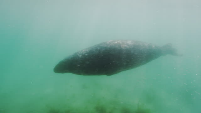 grey seal - grey seal stock videos & royalty-free footage