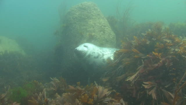 grey seal - grey seal stock videos & royalty-free footage