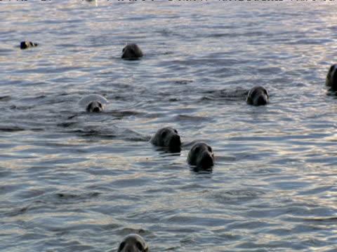 Grey seals bob in sea