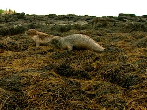ms grey seals (halichoerus grypus) clumsily moving across seaweed, norfolk, uk - イーストアングリア点の映像素材/bロール