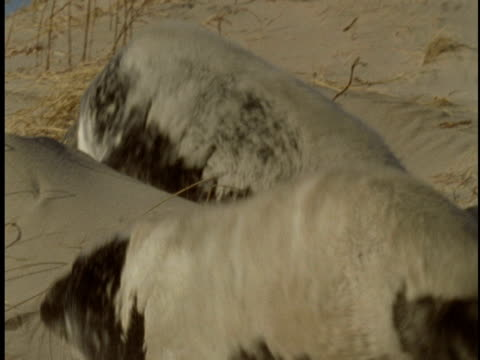 grey seals crawl over the sand on the beach of sable island, canada. - 大西洋諸島点の映像素材/bロール