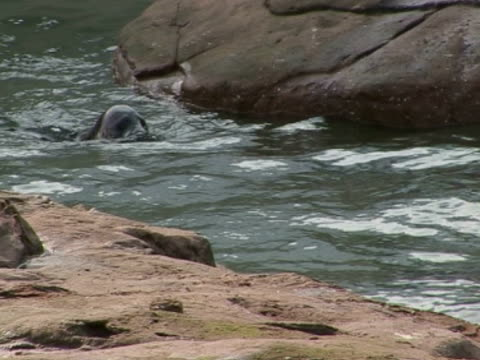 Grey Seals diving and swimming, playful, family, escapism