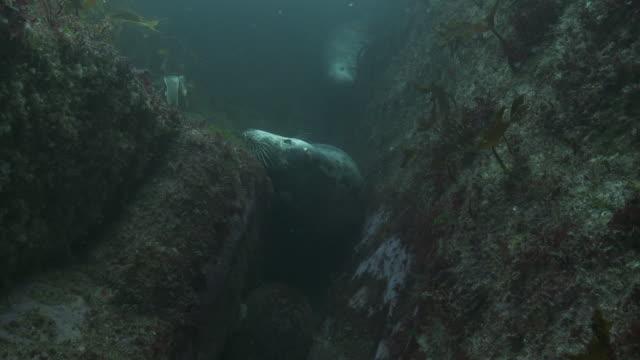 grey seals hiding in crevice - crevice stock videos & royalty-free footage
