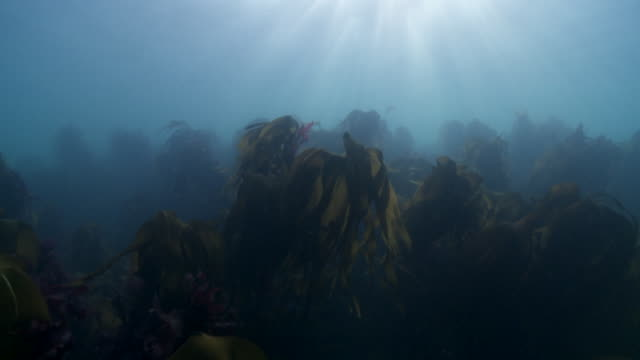 grey seals in distance over kelp forest - aquatic organism stock videos & royalty-free footage