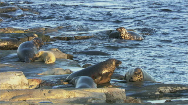 ws grey seals in swedish archipelago / sweden - kegelrobbe stock-videos und b-roll-filmmaterial