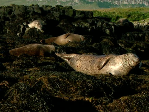 MS Grey seals (Halichoerus grypus) lying on seaweed covered rocks in early evening light, Norfolk, UK
