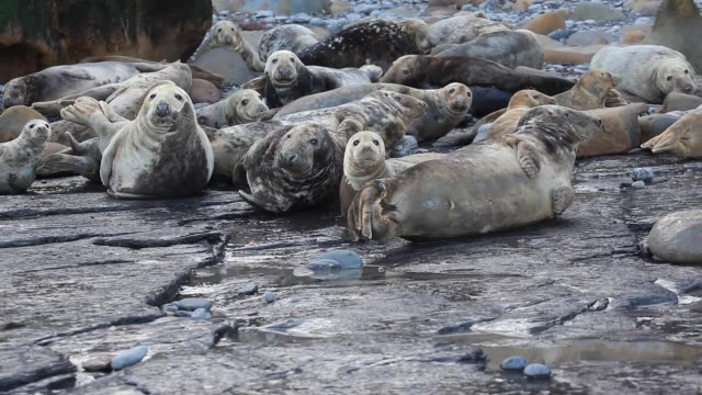 grey seals on the coast of the british isles - grey seal stock videos & royalty-free footage