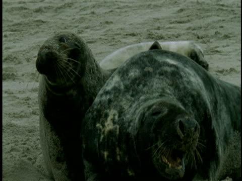 grey seals rest on a beach. - atlantikinseln stock-videos und b-roll-filmmaterial