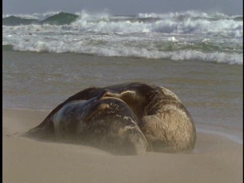 grey seals rest on the beach as it rains on sable island. - 大西洋諸島点の映像素材/bロール