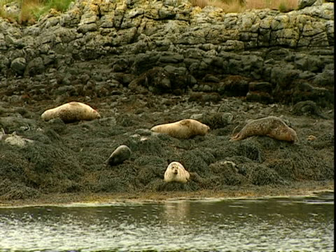 mwa grey seals (halichoerus grypus), resting on seaweed covered rocks by water, norfolk, uk - einige gegenstände mittelgroße ansammlung stock-videos und b-roll-filmmaterial