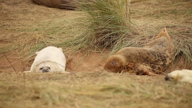 grey seals return to donna nook national nature reserve in lincolnshire to give birth to their pups and breed each year in late october the seals... - cute stock videos & royalty-free footage