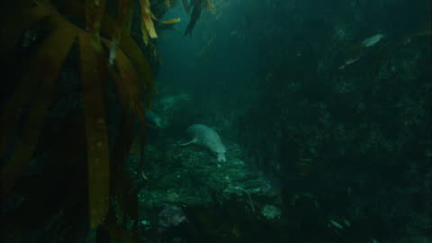 grey seals (halichoerus grypus) swim amongst seaweed, atlantic ocean, ireland - grey seal stock videos & royalty-free footage