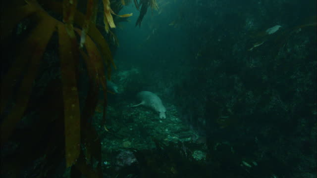 grey seals (halichoerus grypus) swim amongst seaweed, atlantic ocean, ireland - kegelrobbe stock-videos und b-roll-filmmaterial